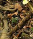 image 5802 of Hooded Pitta