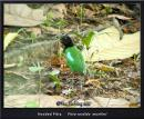 image 6748 of Hooded Pitta