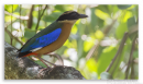 image 7317 of Blue-winged Pitta