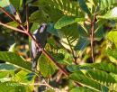 image 4238 of Sunda Cuckoo-shrike
