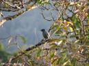 image 1644 of CAMPEPHAGIDAE Cuckoo-shrikes, Minivets & Triller