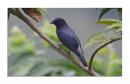 image 6786 of Lesser Cuckoo-shrike
