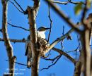 image 7816 of Pied Triller