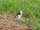 image 5676 of Pied Triller
