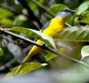 image 4410 of Grey-chinned Minivet