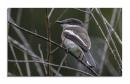 image 6785 of CAMPEPHAGIDAE Cuckoo-shrikes, Minivets & Triller