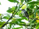 image 7901 of Black-winged Flycatcher-shrike