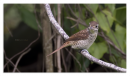 image 7118 of LANIDAE Shrikes