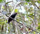 image 8339 of Bornean Oriole