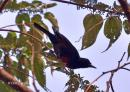 image 7728 of Black-and-Crimson Oriole