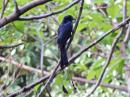 image 7035 of Greater Racket-tailed Drongo