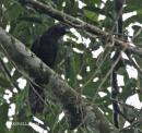 image 4248 of Black Magpie