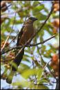 image 2484 of Bornean Treepie