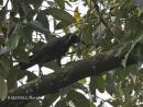 image 4250 of Slender-billed Crow