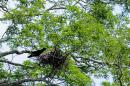 image 653 of CORVIDAE Crows, Jays, Magpies, Treepie