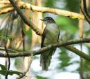 image 6858 of Hook-billed Bulbul