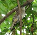image 5118 of Buff-vented Bulbul