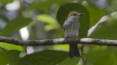 image 6690 of Streaked Bulbul
