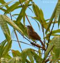 image 6909 of Striated Grassbird