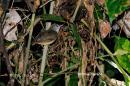 image 6180 of Horsfield's Babbler