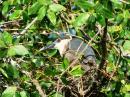 image 7918 of ARDEIDAE  Herons, Egrets, Bitterns