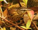 image 6563 of Eyebrowed Wren-babbler