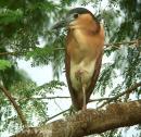 image 3367 of Rufous Night Heron