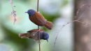 image 6640 of Chestnut-winged Babbler
