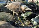 image 6995 of Striated Heron