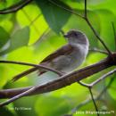 image 7314 of Brown Fulvetta