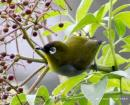 image 4427 of Black-capped White-eye