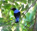 image 5752 of Asian Fairy-bluebird