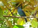 image 6007 of Asian Fairy-bluebird