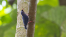 image 6673 of SITTIDAE Nuthatches