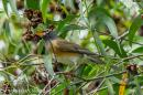 image 7483 of Eyebrowed Thrush