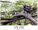 image 5000 of Oriental Magpie-robin