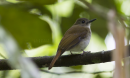 image 6715 of Rufous-tailed Jungle Flycatcher