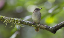 image 6716 of Rufous-tailed Jungle Flycatcher