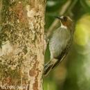 image 3942 of Eye-browed Jungle Flycatcher