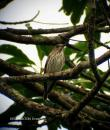 image 5800 of Grey-streaked Flycatcher