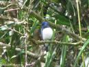image 1724 of Blue-and-White Flycatcher