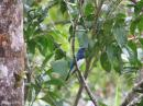 image 1727 of Blue-and-White Flycatcher