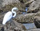 image 8129 of Great Egret