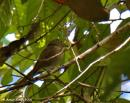 image 7668 of Pale Blue Flycatcher