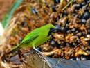 image 7675 of Lesser Green Leafbird