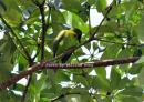 image 7786 of Lesser Green Leafbird