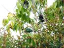 image 7906 of Blue-winged Leafbird