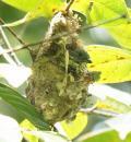 image 6518 of Yellow-rumped Flowerpecker