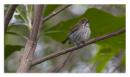 image 6868 of DICAEIDAE Flowerpeckers