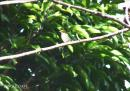 image 7959 of Yellow-vented Flowerpecker